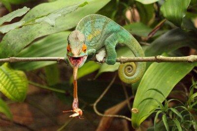 Obraz Camaleão em Madagaskar
