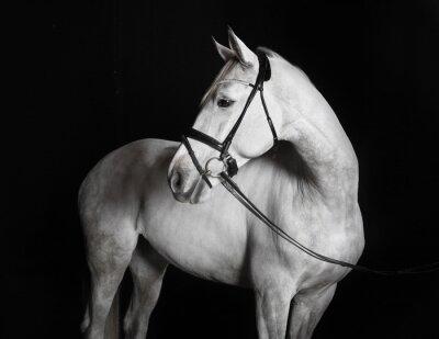 Obraz Carstens Pferd weiß vor schwarzem tła