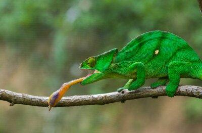 Obraz Chameleon na polowanie owadów. Długi język kameleon. Madagaskar. Doskonałą ilustracją. Close-up.