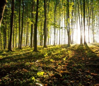 Obraz charakter. Zachód słońca w lesie