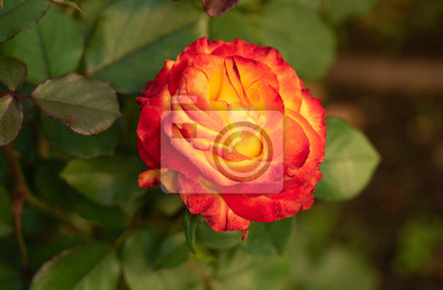 Close up view on yellow-red rose in rosarium. Floral background. Single rose with green leaves. Red rose blossoming in rosary at summer. Blurred background. Selective soft focus
