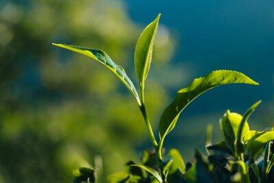 Obraz Close-up zielonych świeżych liści herbaty na plantacji.