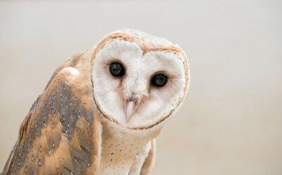 Obraz Common Barn Owl (Tyto albahead) bliska