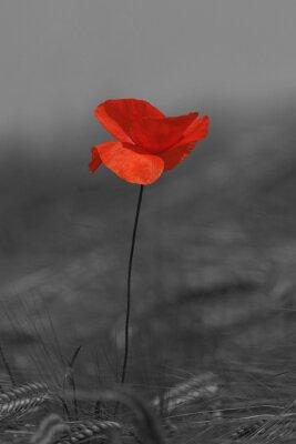 Obraz coquelicot Rouge et Noir