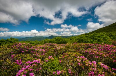 Obraz Craggy Gardens Rhododendron flowers blooming as Spring comes to the Blue Ridge Parkway. Located in North Carolina this scenic landscape showcases the beauty of the Southern Appalachian Mountains.