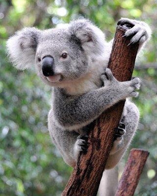 Obraz Curious koala
