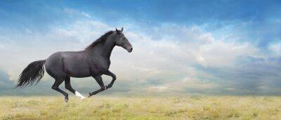 Obraz Czarny koń biegnie na polu pełnym galopie