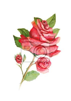 Czerwona róża z pąków akwareli na białym tle