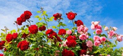 Obraz Czerwone i różowe róże wspinaczkowe.