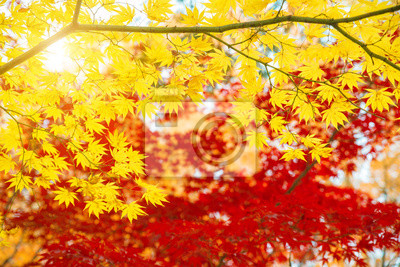 Czerwoni i Żółci liście klonowi w jesieni przyprawiają z niebieskim niebem zamazującym tłem, brać od Japonia.