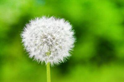 Obraz Dandelion na zielonym bokeh