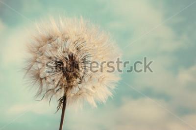 Obraz Dandelion Odizolowywający w błękitnym tle