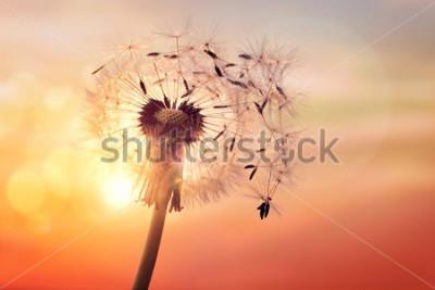 Obraz Dandelion sylwetka przeciw zmierzchowi z ziarnami dmucha na wiatrze