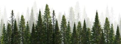 Obraz dark green straight trees forest on white