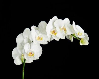 Obraz Delikatna orchidea oddział rozkwitająca z dużymi białymi kwiatami na czarnym tle. Kwitnąca gałązka kwiatu orchidei Phalaenopsis.