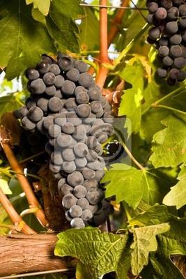 Dojrzałe czerwone winogrona wiszące na krzewie