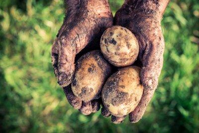 Obraz Dojrzałe ziemniaki w rękach