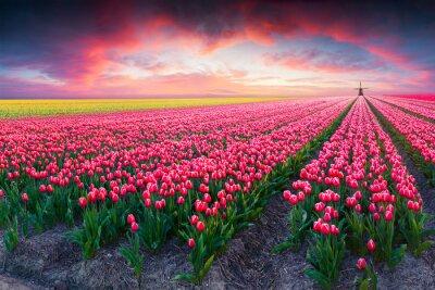 Obraz Dramatyczna scena wiosna w gospodarstwie tulipan