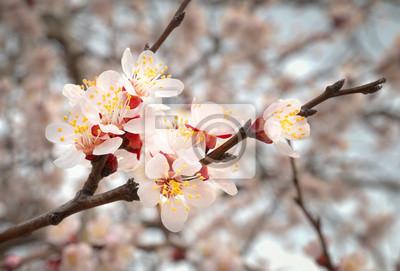 Drzewo migdałowe różowe kwiaty.