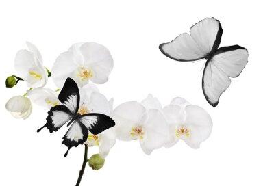Obraz duże białe kwiaty orchidei i dwa motyle