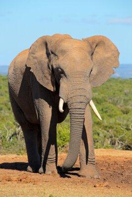 Obraz Duże Słoń afrykański byka (loxodonta africana), Addo Elephant National Park, Republika Południowej Afryki.
