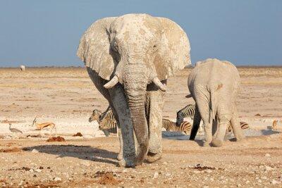Obraz Duże Słoń afrykański (Loxodonta africana) byk w błocie, Park Narodowy Etosha, Namibia.