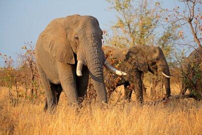 Obraz Duże słonie afrykańskie byk (Loxodonta africana), Kruger National Park, Republika Południowej Afryki.
