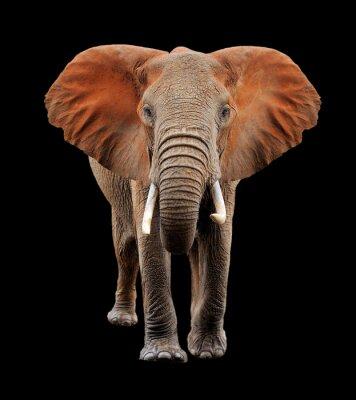 Obraz Duży słoń na czarnym tle