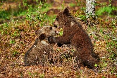 Obraz Dwa brązowe niedźwiadki