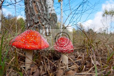 Dwa muchomor grzyby w lesie