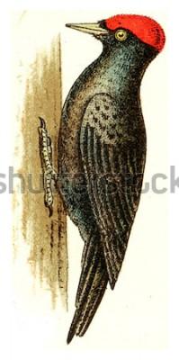 Obraz Dzięcioł czarny, vintage grawerowane ilustracja. Z Atlasu Deutch Birds of Europe.