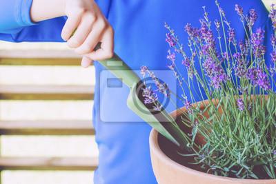 Obraz Dziecko wręcza zasadzać kwitnie lawendy w garnku