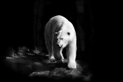 Obraz Eisbär in Schwarzweiß