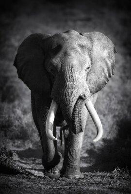 Obraz Elephant Bull (Artistic processing)