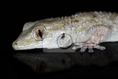 Obraz Europejska Wspólna Gecko (Tarentola mauritanica) samodzielnie na czarny