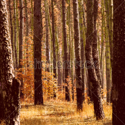 Obraz fantastyczna złota jesień w sosnowym lesie jasne pomarańczowe rośliny pnie wysokie drzewne czyste i nikt wokół pięknej naszego świata