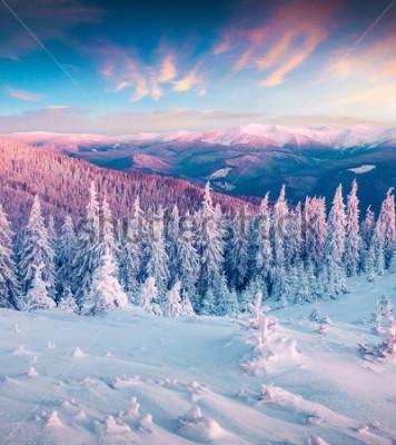 Obraz Fantastyczny zimowy wschód słońca w Karpatach ze śnieguiem cowered drzewa. Kolorowa plenerowa scena, Szczęśliwego nowego roku świętowania pojęcia. Styl artystyczny po przetworzeniu zdjęcia.