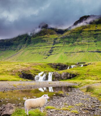 Farmer's sheep grazing in the grass
