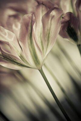 Obraz Fine art tulipany zbliżenie, niewyraźne i ostre