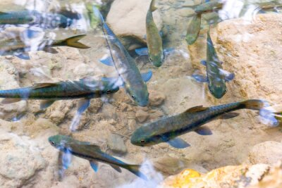 Flock of tropical red garra fishes in river water in Erawan National park, Thailand