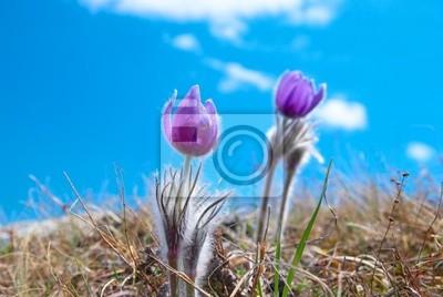 Flower Pasqueflower (Pulsatilla patens)