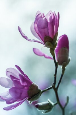 Obraz Flowering pink magnolia