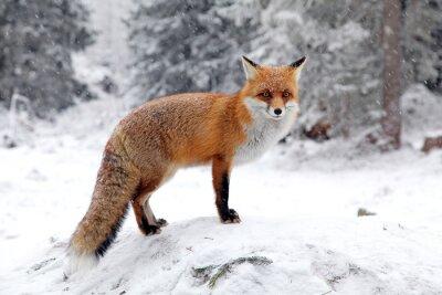 Obraz Fox in forest at High Tatras, Slovakia
