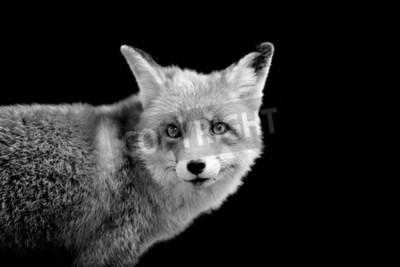 Obraz Fox na ciemnym tle. Czarno-biały obraz
