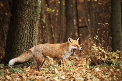 Obraz Fox na jesieni lasu