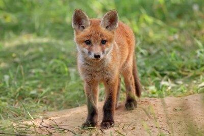 Obraz Fox w dzikie