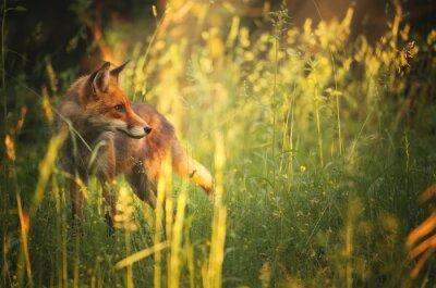 Obraz Fox w lesie latem