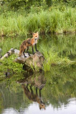Obraz Fox z odbicia w spokojne jezioro