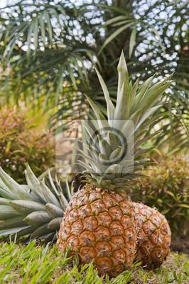 Fresh Pineapple Zbierane
