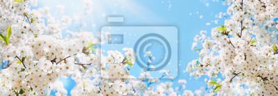 Obraz Gałąź kwitnąć czereśniowego makro- z miękką ostrością na delikatnym bławym nieba tle w świetle słonecznym z kopii przestrzenią. Piękny kwiecisty wizerunek wiosny natury panoramiczny widok.